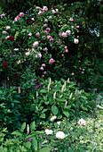 Rosa 'Constance Spry' Englische Rose, Kletterrose, einmalblühend, duftend, Phytolacca americana / Kermesbeere