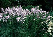 Campanula lactiflora 'Loddon Ann' (Dolden-Glockenblumen)