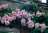 Rosa 'Blush Rambler' syn. 'Apple Blossom' , Ramblerrose, Kletterrose , einmalbluehend mit leichtem Duft