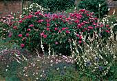 Rosa gallica 'Surpasse Tout' , einmalbluehend mit starkem Duft, Campanula (Glockenblumen) , Dianthus caesius (Pfingstnelken)