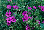 Geranium psilostemon 'Patricia' (Armenischer Storchschnabel)