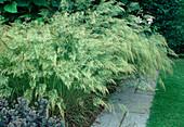 Stipa calamagrostis 'Algäu' - Silberährengras, Silber-Raugras