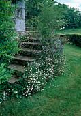 Erigeron karvinskianus (Spanisches Gänseblümchen), Rosa (Kletterrose) am Treppengeländer