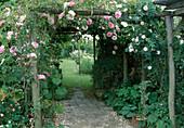 Rosa bourbonica 'Blairii Nr.2' (Kletterrose), guter Duft, remontierend, an Pergola aus Holz