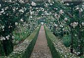 Rosa 'Adelaide d'Orleans' Mottisont Abbaye-GB