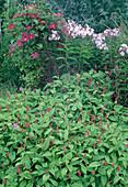 Persicaria amplexicaulis 'Inverleith' (Kerzen-Knöterich), Phlox paniculata (Flammenblumen), Clematis (Waldrebe)
