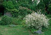 Salix integra 'Hakuro nishiki'(Harlekinweide), Rosa 'Pink Meidiland'syn. 'Schloß Heidegg' Strauchrose, öfterblühend, zart duftend, robust