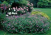 Geranium endressii (Storchschnabel), Rosa 'Rush' 'Iceberg' (Rosen) , Alchemilla mollis (Frauenmantel)