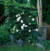 Rosa 'Maria Mathilda' Floribundarose, oefterbluehend, Duft, Vitis vinifera (Weinrebe) und Stauden bewachsen Flechtwand in Gartenecke