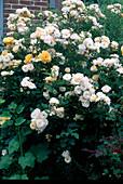 Rosa 'Ghislaine de Feligonde' (Historische Ramblerrose), oefterbluehend, leichter Duft