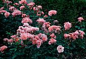 Rosa 'Favorite' syn. 'Favori' (Floribundarose, Polyantharose), guter Duft