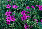 Geranium psilostemon 'Patricia'(Armenischer Storchschnabel)