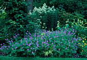 Geranium pratense'Brookside' (Storchschnabel), Hydrangea petiolaris (Kletterhortensie) am Baum