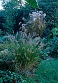 Pennisetum alopecuroides 'Hameln' (Federborstengras), Miscanthus sinensis (chinaschilf)