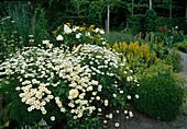 Rosa 'Happy Child'(Englische Rose), oefterbluehend mit gutem Duft, Anthemis tinctoria 'Sauce Hollandaise' (Helle Färberkamille), Lysimachia punctata (Gold-Felberich), Alchemilla mollis (Frauenmantel), Buxus (Buchs)