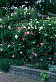 Rosa 'Alberic Barbier''Leonard da Vinci' 'Mary Rose' (Rosen) als Sichtschutz an Pergola mit Rankgitter