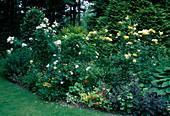 Rosa 'Golden Garette'(Strauchrose) und 'Felicité Parmentier' (historische Rose), einmalblühend, sehr guter Duft, Tropaeolum (Kapuzinerkresse)