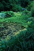 Teich mit Menyanthes trifoliata (Fieberklee), Nymphaea (Seerose) und voller Algen, am Ufer Gunnera tinctoria (Mammutblatt), Hosta (Funkien), Gräser und Farn