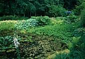 Teich mit Menyanthes trifoliata (Fieberklee), Nymphaea (Seerose) und voller Algen, am Ufer Gunnera tinctoria (Mammutblatt), Hosta (Funkien), Astilbe (Prachtspiere), Gräser und Farn