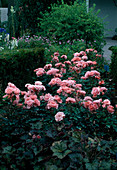 Rosa 'Kurfürstendamm' syn. 'Jardins de France' Floribundarose, oefterbluehend mit leichtem Duft