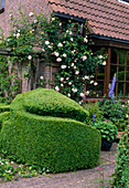 Buxus sempervirens (Buchs) Topiary, Rosa 'New Dawn' (Kletterrose), gesund, öfterblühend, leichter Apfelduft wächst am Haus, Delphinium (Rittersporn)