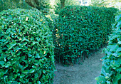 Hecken aus Prunus laurocerasus (Kirschlorbeer)und Fagus sylvatica (Buche)