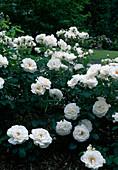 Rosa 'Maria Mathilda', Floribundarose, oefterbluehend, starker Duft