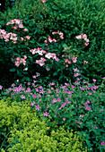 Rosa floribunda 'Rush' - Floribundarose , öfterblühend, fruchtiger Duft, Geranium endresii (Storchschnabel), Alchemilla mollis (Frauenmantel)