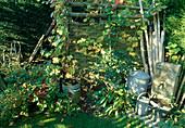 Gartenecke mit Flechtwand als Sichtschutz, Wasserhahn, Kübeln und Gießkanne , Sedum'Herbstfreude'(Fetthenne), Vitis (Wein) , Polygonum (Knöterich), Rosa (Rose)