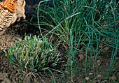 Schnittlauch (Allium schoenoprasum) abgeschnitten