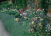 Staudenbeet mit Hecke aus Lavendel (Lavandula), Anchusa (Ochsenzunge), Penstemon (Bartfaden), Achillea (Schafgarbe), Rosa (Rosen)