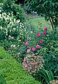 Rosa 'Bourbon Queen' (Bourbonrose), einmalbluehend mit gutem Duft, Allium christophii (Sternkugellauch, Zierlauch) , Galega candida (Geissraute)