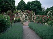 Rosengarten : Rosa 'Debutante' 'Magenta' (Ramblerrosen, Kletterrosen) an Rosenboegen, Lavendel - Hecken (Lavandula)