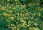 Eschscholzia californica'Sundew' (Goldmohn)