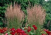 Calamagrostis acutiflora (Reitgras) und rote Rosen