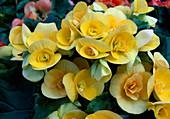 Begonia tuberhybrida Netja 'Arika Dark' Begonie