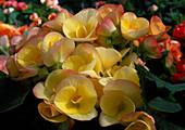 Begonia tuberhybrida Netja 'Jutta'
