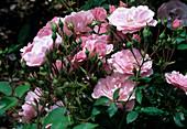 Rosa 'Clos Fleuri rose' - syn. 'Snow Summit' Floribundarose, öfterblühend, schwacher Duft