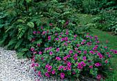 Geranium psilostemon 'Bressingham Flair' / Armenischer Storchschnabel, Sorbaria sorbifolia / Fiederspiere