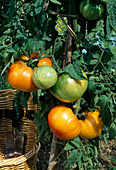 Tomate 'Ananas' (Lycopersicon) im Beet
