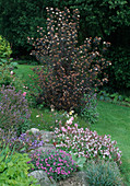 Physocarpus opulifolius 'Diabolo' / Blasenspiere, Geranium 'Biokovo' / Storchschnabel, Salvia officinalis / Salbei, Rose