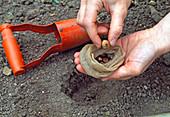 Crocus setzen - zum Schutz vor Wühlmäusen Zwiebel in alten Strümpfen einpflanzen