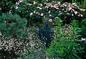 Rosa 'Albertine' u. 'Blush Noisette' (Rosen), Echium fastuosum (Natternkopf), Erigeron karvinskianus (Spanisches Gänseblümchen)