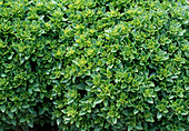 Ocimum basilicum 'Fin vert Compact' / Basilikum