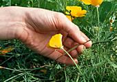 Samenernte von Eschscholzia californica (Kalif. Kappenmohn) 1. Step: Abnahme der Samenschote 1/6