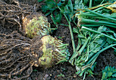Ernte von Apium graveolens var. rapaceum / Sellerie 4. Step: Knollen vorbereitet zum Einlagern 4/4