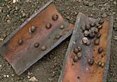 Biol. Schädlingsbekämpfung, Schnecken unter Dachziegeln anlocken, dann absammeln
