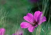 Geranium Psilostemon-Hybride 'Patricia' - Armenischer Storchschnabel