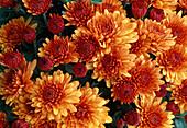 Dendranthema-Hybr. 'Persan cuivre' / Herbstchrysantheme