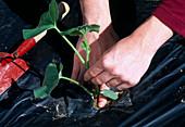 Cucumis / Melone in schwarze Folie (Verdunstungsschutz, Unkrautreduzierung) pflanzen 5. Step: Pflanze andrücken damit Sie Bodenschluß bekommt 5/6
